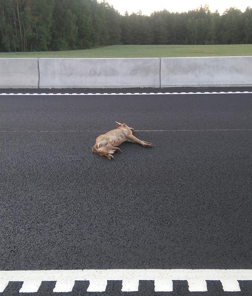 На трассе М6 в Лидском районе водитель сбил волчицу