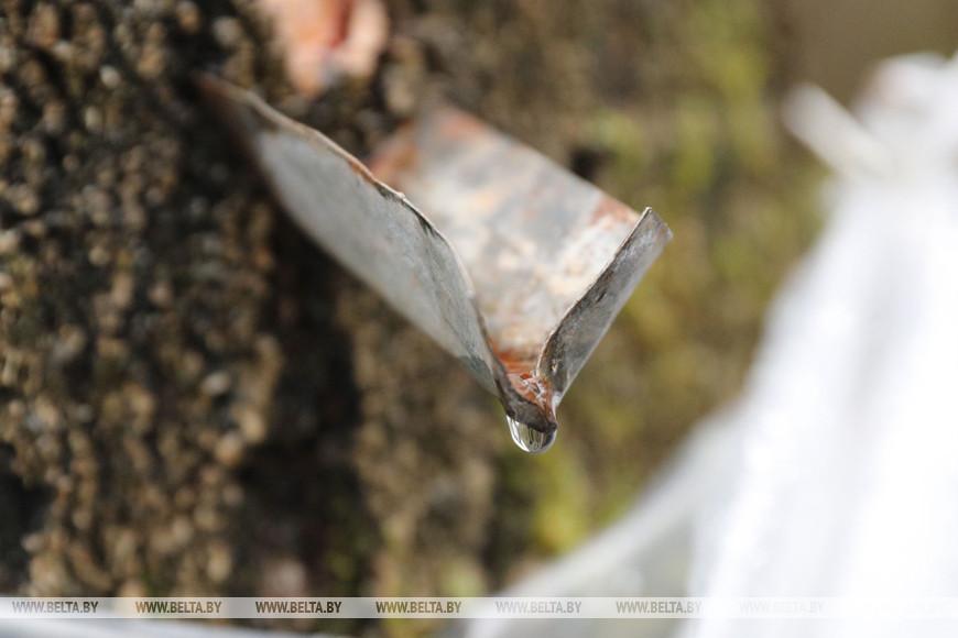 В Лидском лесхозе началась заготовка березового сока
