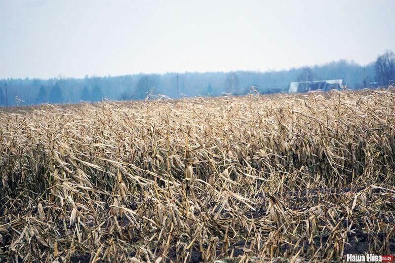 Под Лидой до сих пор не убран урожай кукурузы