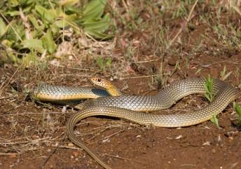 Змея терроризирует дачницу в Лидском районе